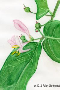 Blue Leaf Honeysuckle