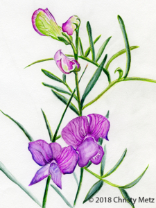 Vicia Plant Essence Drawing